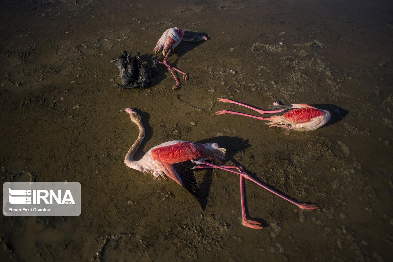 مرگ پرندگان مهاجردرشرق خلیج گرگان