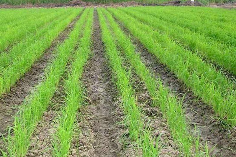 آغاز خشکهکاری شالی در گلستان