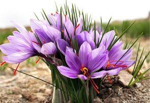 تاخیرعرضه زعفران گلستان در سایه کرونا