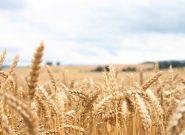 جهش همراه با تلاش در تولید گندم کشور