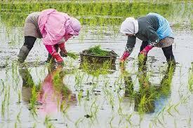 نمایندگان گلستان خواستار لغو ممنوعیت کشت برنج شدند