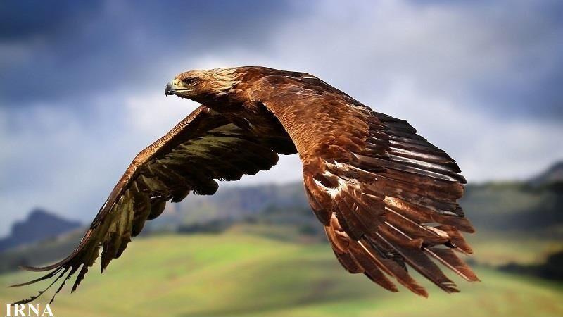 بازگشت عقاب طلایی به محیط زیست شیروان