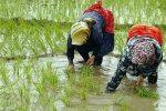 اشتغال شالیکاران در زیرآفتاب و باران در مازندران