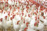 ۷۰۰تن مرغ زنده آماده ورودبه بازار