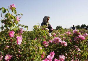 کشت سه برابری گیاهان دارویی در خراسان شمالی