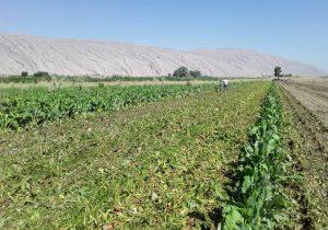 پوسیدگی چغندر در اراضی کشاورزی شیروان
