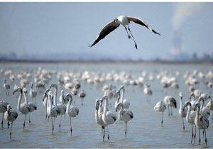 ترانه خوانی پرندگان سردسیری سیبری در خلیج گرگان
