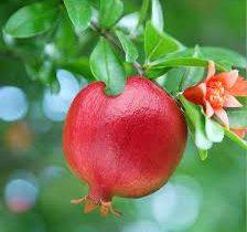 کاهش تولید انار باغات سیروان به ۲۲۵ تن