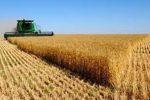 ۳۴۴ هزار تن گندم طی سال جاری از کشاورزان استان مرکزی خریداری شد