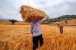 پرداخت هفت هزار و ۵۷۰ میلیارد ریال از مطالبات گندمکاران استان مرکزی
