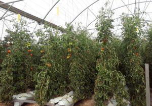 راهاندازی۶ هکتار گلخانه در سیب و سوران