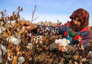 تولید۸۰درصدپنبه خراسان شمالی درمانه وسملقان