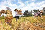 افزایش۲۵درصدی برداشت برنج در کهگیلویه و بویراحمد