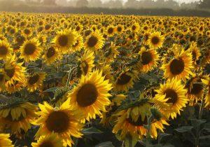 عقدقراردادکشت۲۰۰هزارهکتار دانه روغنی در سال زراعی جاری