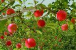 ۳۰۰تن برداشت سیب درهرهکتار