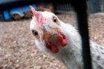 حکایت،حکایت مرغ یک پاست