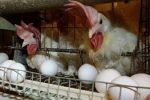 تولید۶هزار تن تخم مرغ در واحدهای مرغداری شهرستان قزوین