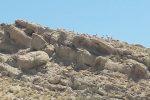 طاعون ۴۶۰ رأس بز وحشی در پارک ملی کلاه قاضی را تلف کرد