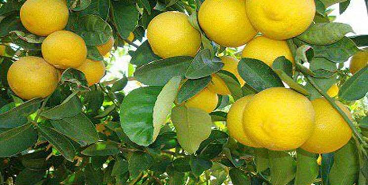 فارس قطب تولید لیموشیرین کشور