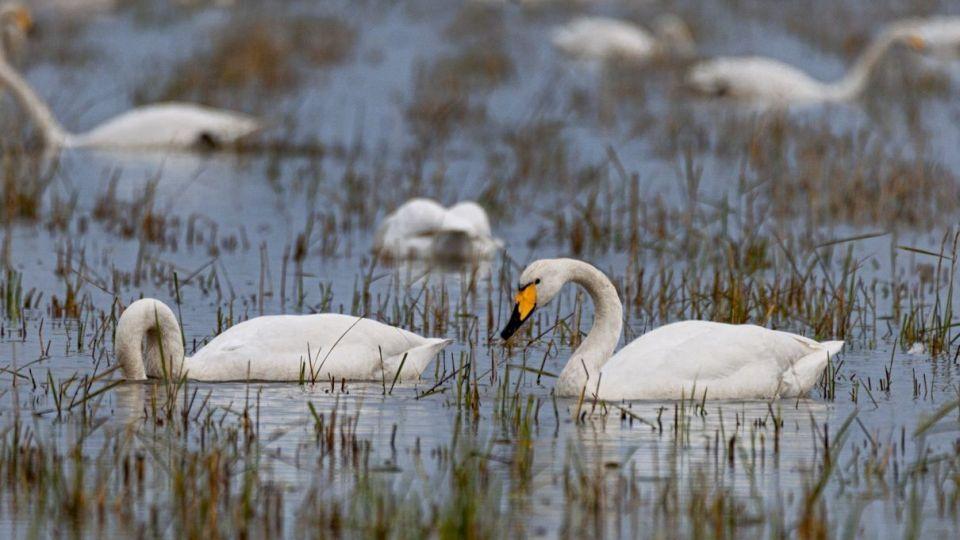 فریادآوای قوهای گنگ پایانی برسکوت زیستگاههای آبی گلستان
