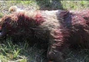 پیداشدن لاشه یک قلاده خرس درارتفاعات توسکستان گرگان