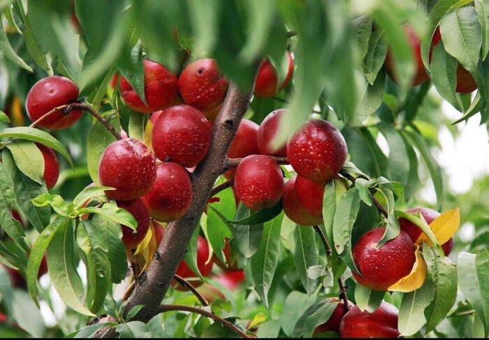 تولید۶۰درصد محصولات کشاورزی خراسان شمالی پاک وسالم است