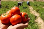 برداشت بیش از ۶۳ هزار تن گوجه در نهاوند