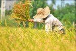 تولید۵میلیون و۴۰۳هزارتن محصول کشاورزی درسالجاری