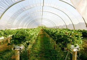 ۲برابرشدن وسعت گلخانههای آذربایجانشرقی