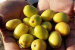 برداشت پنج هزارتن میوه گرمسیری کُناردر سیستان و بلوچستان