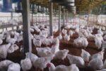 توزیع روزانه ۳۵ تن مرغ دربروجرد