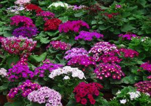 استقبال بهاراسفراین باکاشت۳۰۰هزار بوته گل
