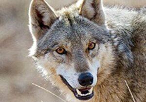 حمله وحشیانه گرگ گرسنه به یک دامداری