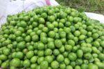 برداشت یک هزار و ۸۰۰ تن گوجه سبز از باغات کرمانشاه