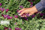 اختصاص ۶۲ هکتار از مزارع هیرمند به کشت گیاهان دارویی