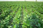 آغازتوزیع ۲ هزار تن بذر سویا در گلستان