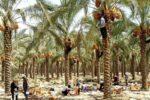 بیمه کشاورزی ۳۴هزار و ۳۳ هکتار از نخیلات استان بوشهر