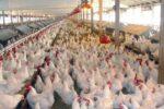 افزایش ۳۰ درصدی تولید مرغ در استان تهران
