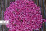 تولید ۷۵۶ تن گل محمدی در خمین