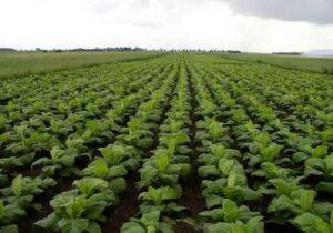 پیگیری جدی توسعه زراعت توتون در گلستان